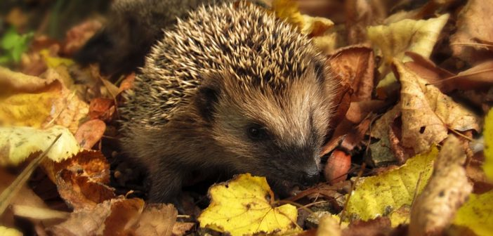How to keep hedgehogs safe this winter