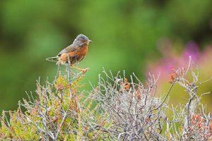 Dartford warbler, Arne RSPB reserve, Dorset