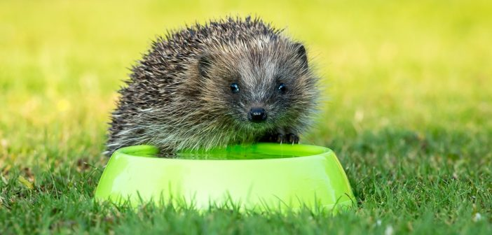 Image of a hedgehog