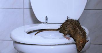 Rat on toilet seat