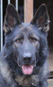 Police dog Gus