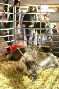reindeer at christchurch christmas festival